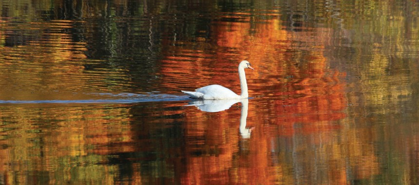 A Mute Swan at Forest Grove Reservation in Waltham https://www.flickr.com/photos/billdamon/10405181893 by Bill Damon https://www.flickr.com/photos/billdamon and licensed for reuse under this Creative Commons Licence https://creativecommons.org/licenses/by/2.0/